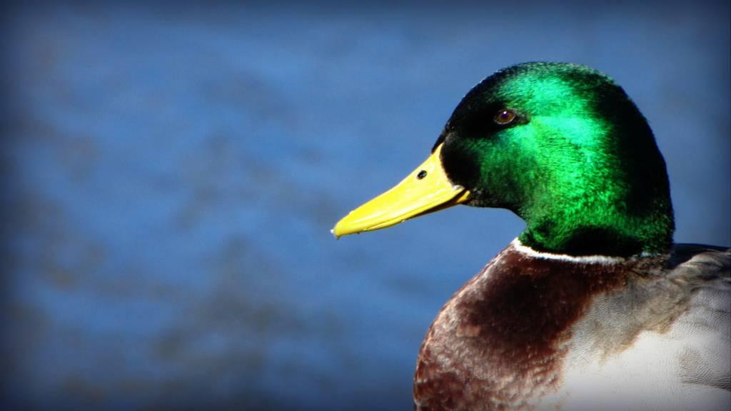Northern Mallard  BIRDS in BACKYARDS