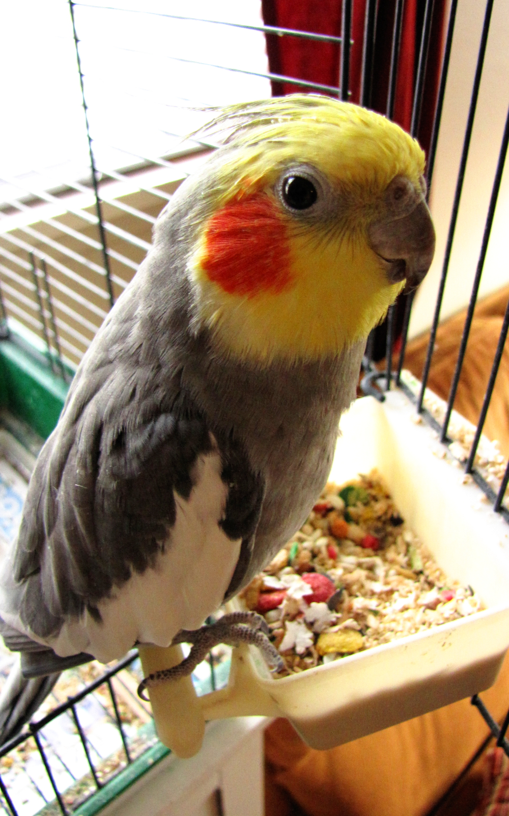 Cockatiel with personality