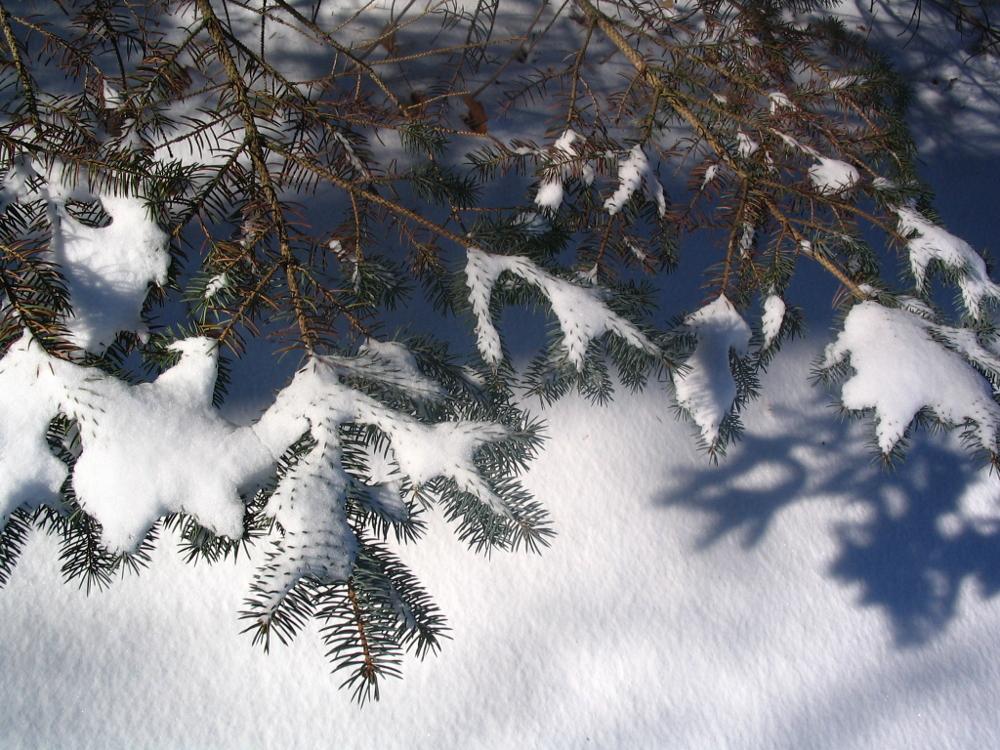Snowy Blue Spruce