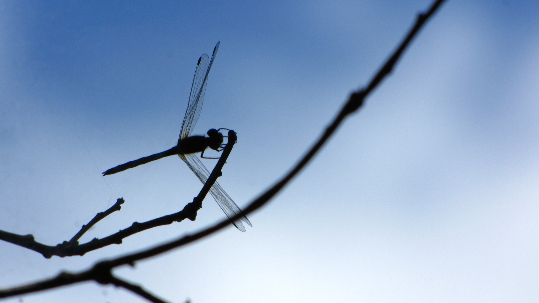 Dragonfly Silhouette